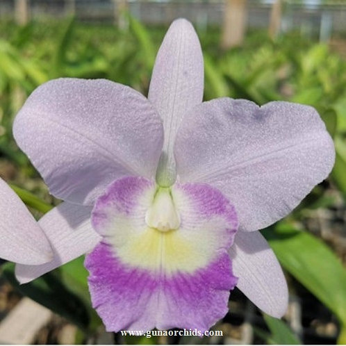 Cattleya Suwan Blue BS