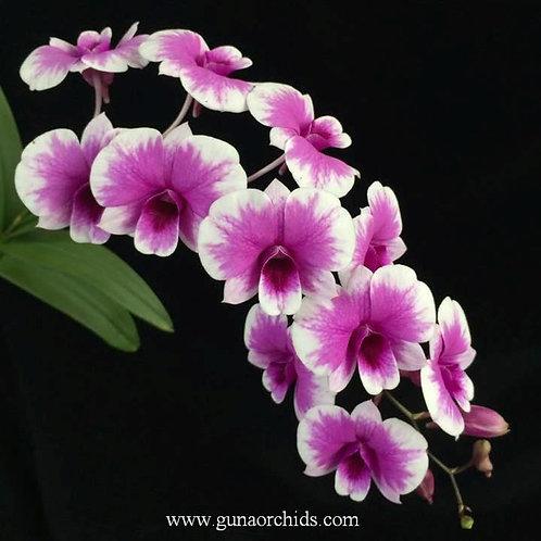 Dendrobium Mini YaYa Compactum BS