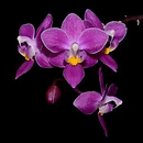link to buy phalaenopsis orchids online