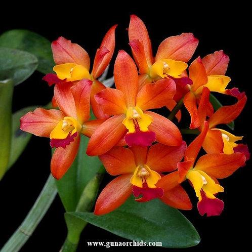 buy cattlianthe ploenpit fantasy orchid online