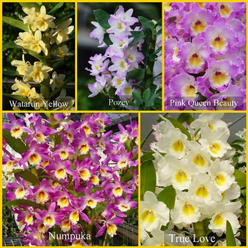 Dendrobium Nobile Seedlings 5 Pack Combo