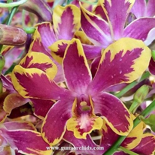Dendrobium Brown Splash BS