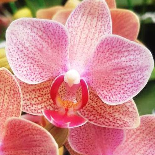 Phalaenopsis Dtps.Shu Long Lucky Sun BS