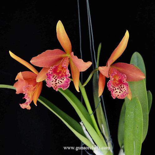 Cattleya Copper Queen  BS