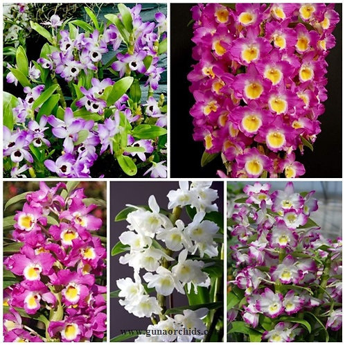 Dendrobium Nobile SS 5 Pack Combo