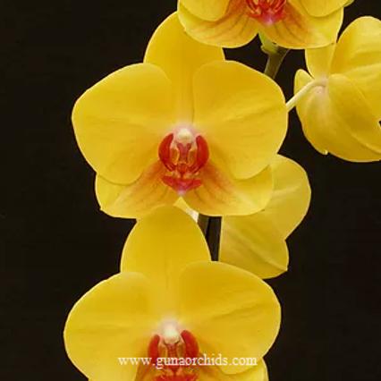 Tian Nong Yellow Nice BS