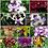 Thumbnail: Dendrobium MS 10 Pack Combo