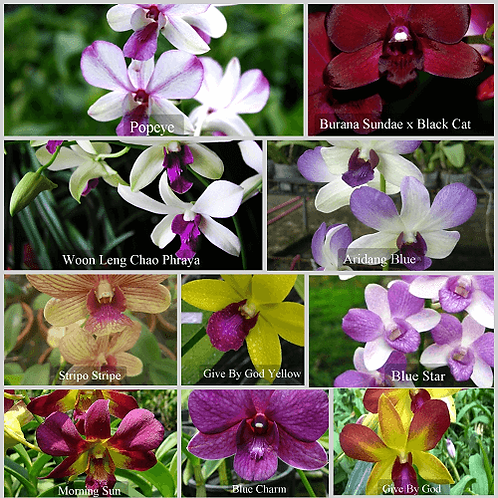 Dendrobium MS 10 Pack Combo