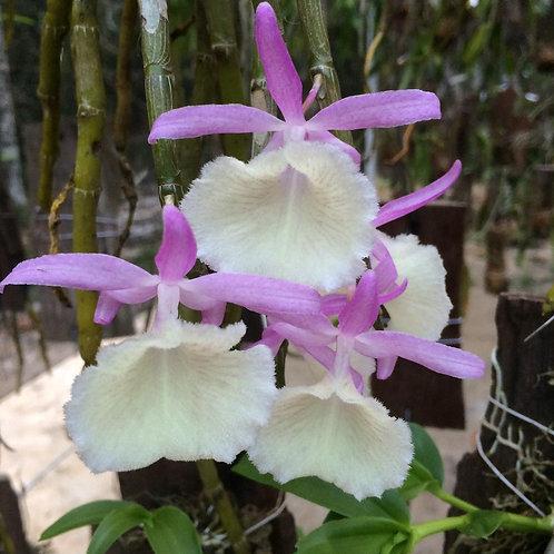 Dendrobium Primulinum MS