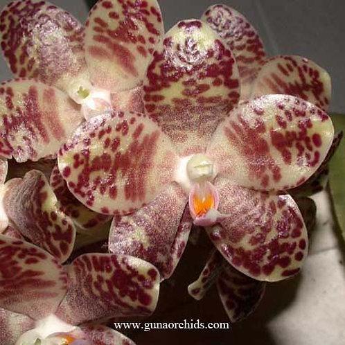 Phalaenopsis Gigantea × Sib BS