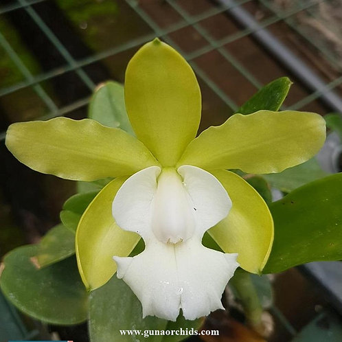 Cattleya Aclandiae var Alba BS