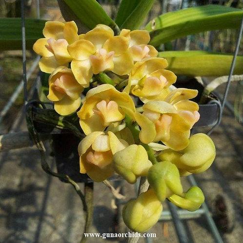 Rhynchostylis Gigantea Yellow BS