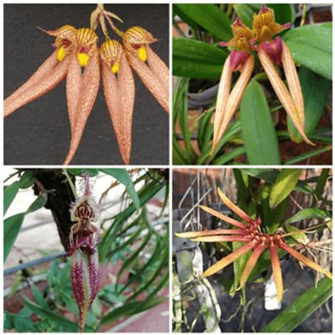 Bulbophyllum SS 4 Pack Combo