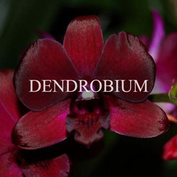 Buy Dendrobium Orchids Online