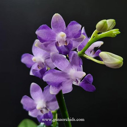 Phalaenopsis Tying Shin Blue Jay - FF | BS