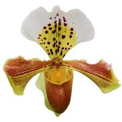 buy paphiopedilum orchid plants online
