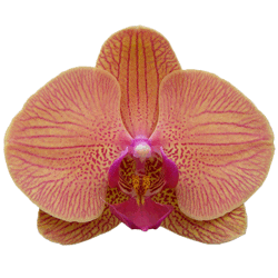 buy phalaenopsis orchids online