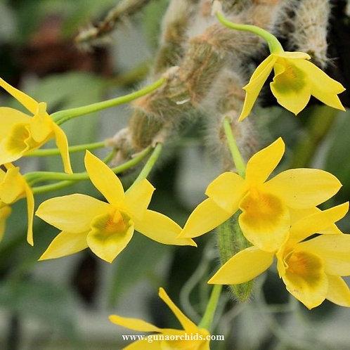 Dendrobium Senile BS