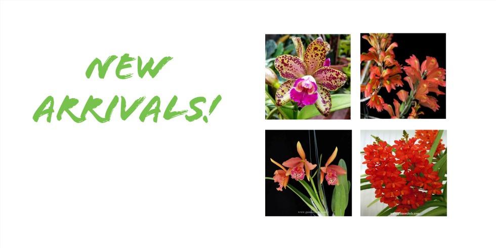 buy orchid plants online