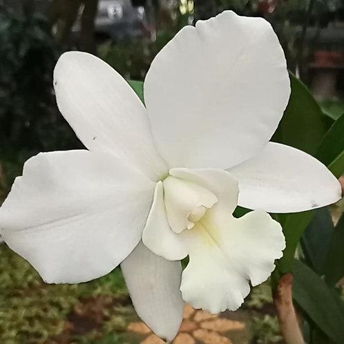 White Bridal Yuki BS