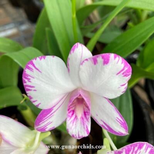 "Dendrobium Enobi Purple 'Splash' BS - 8"" Pot"