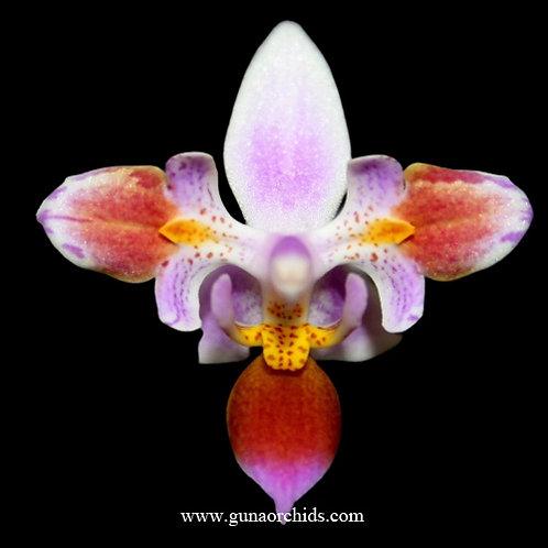 Phalaenopsis Equestris - Peloric 3 Lips BS