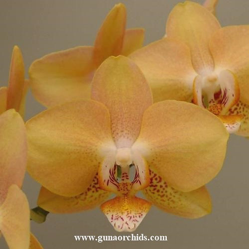 Phalaenopsis Sogo Mandala BS
