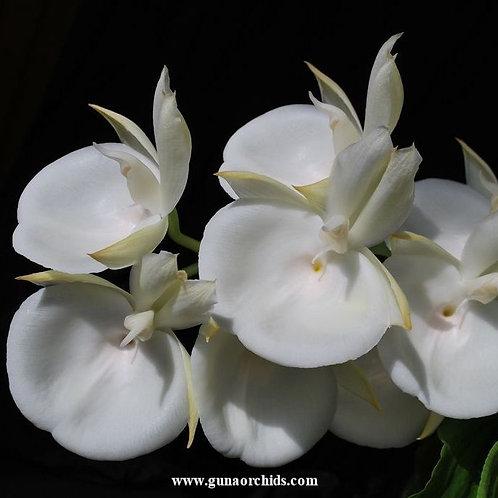Catasetum Pileatum White BS