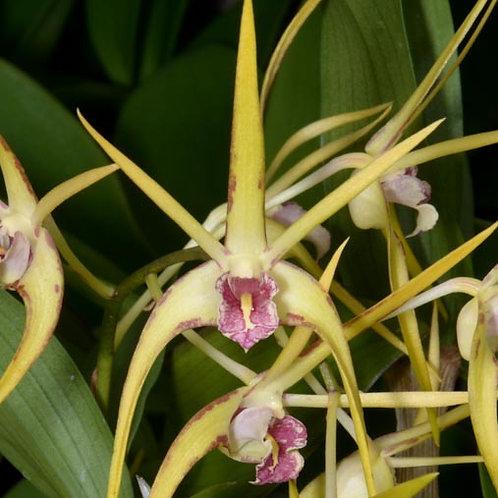 Dendrobium Hilda Poxon BS
