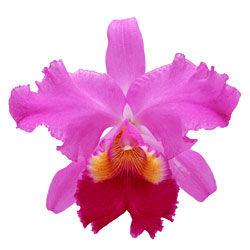 buy cattleya orchid plants online
