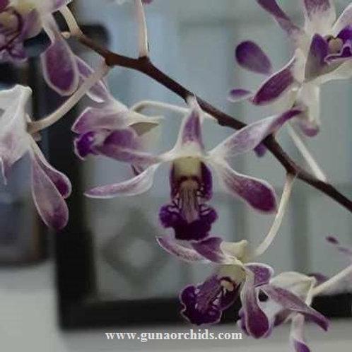 Dendrobium Blue Di Ice BS