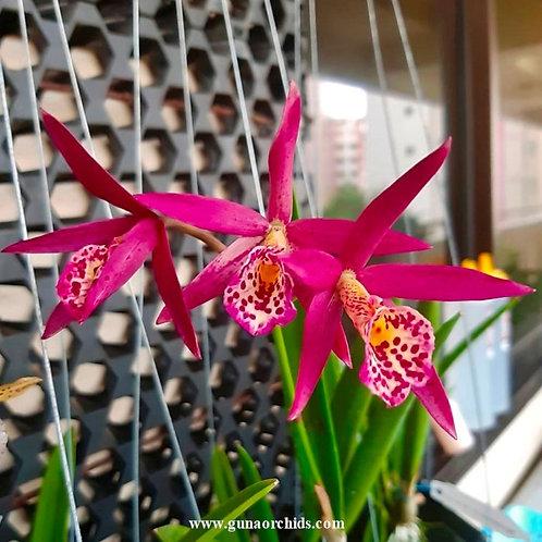 buy brassocatanthe jairak finch orchid online