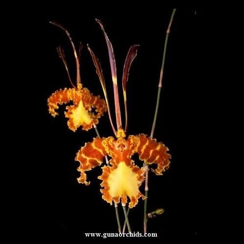 Psychopsis Mariposa BS - Giraffe Orchid