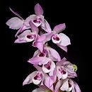 purchase dendrobium orchid plants