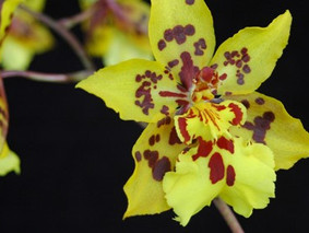 How to Grow: Oncidium Orchid Care
