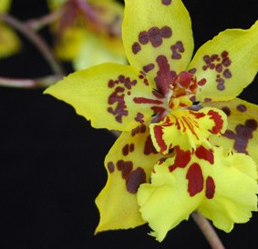How to Grow: Oncidium Orchid Care