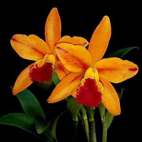 Netrasiri Starbright Orange BS