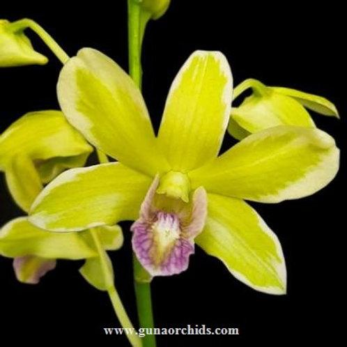 Dendrobium Burana Jade Variegated BS