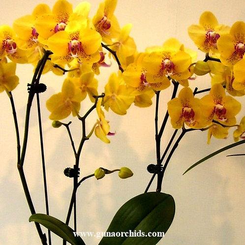 Phalaenopsis Shu Long Yellow Lover BS