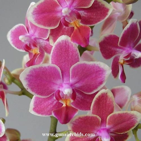 Phalaenopsis Sogo Gotris BS