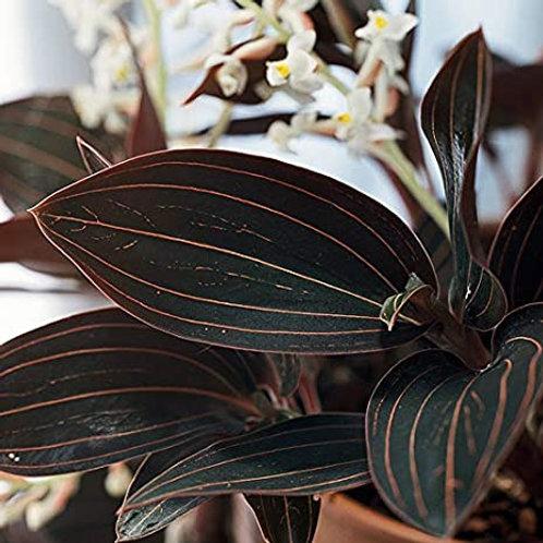 Jewel Orchid - Ludisia Discolor
