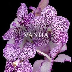 Buy Vanda Orchids Online
