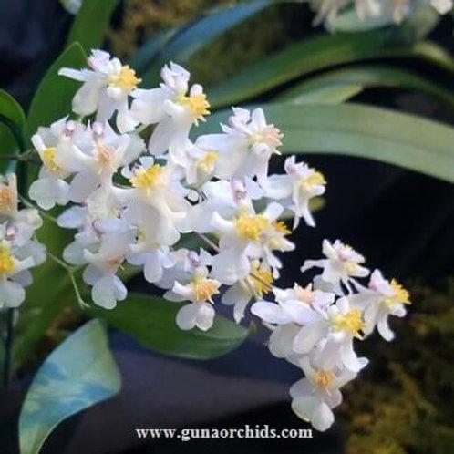 Oncidium Twinkle White BS