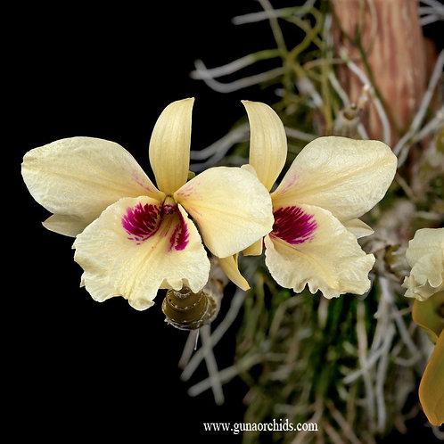 Dendrobium Albosanguineum BS