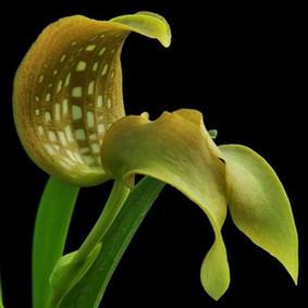 How to Grow: Bulbophyllum Orchid Care