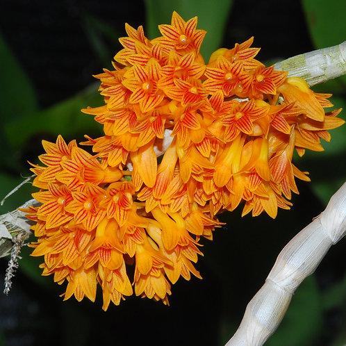 Dendrobium Bullenianum MS
