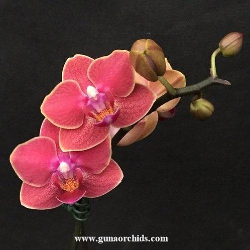 Phalaenopsis Younghome Sunkist BS