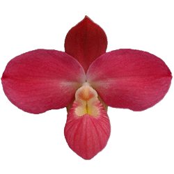 buy rare orchid plants online in india