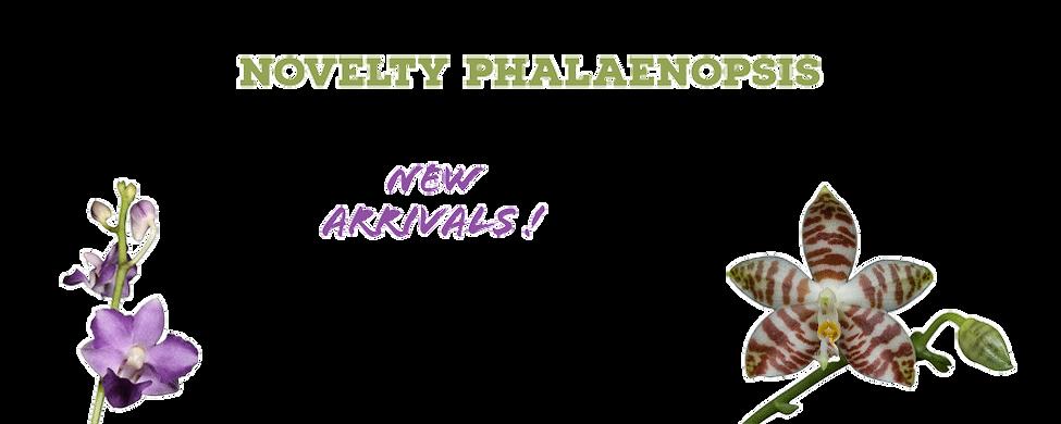 buy novelty phalaenopsis species online