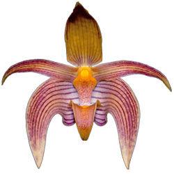 buy bulbophyllum orchid plants online